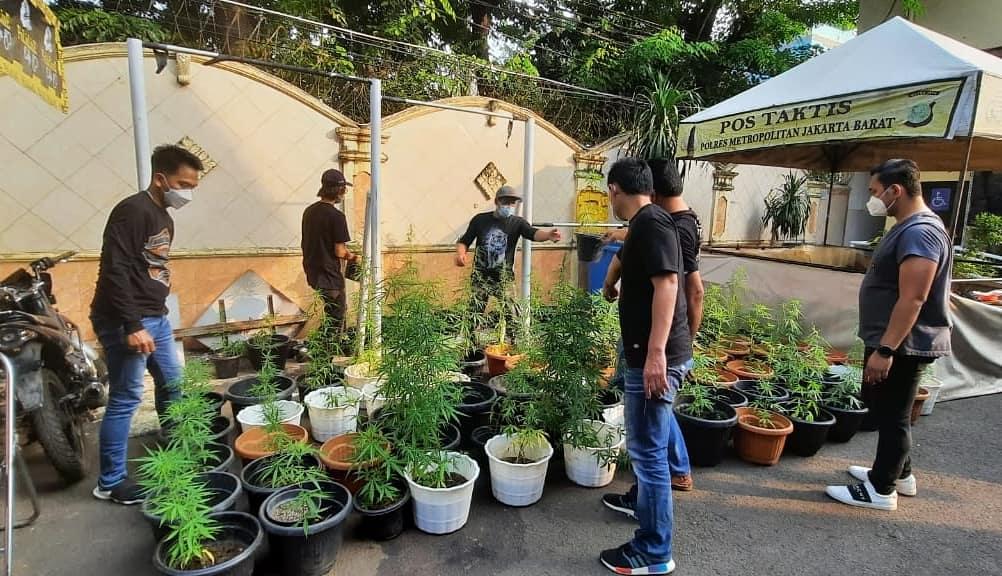 Polres Metro Jakarta Barat membongkar kasus kebun ganja yang ditanam secara hidroponik. (Foto: PMJ News).