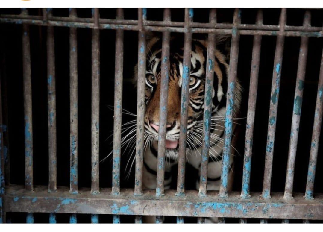 Dua harimau Sumatera Hari dan Tono telah sembuh dari paparan Covid-19. (Foto: Instagram Ragunan).